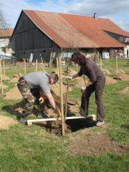 Plantation de l'arbre avec les racines couvertes de pralin